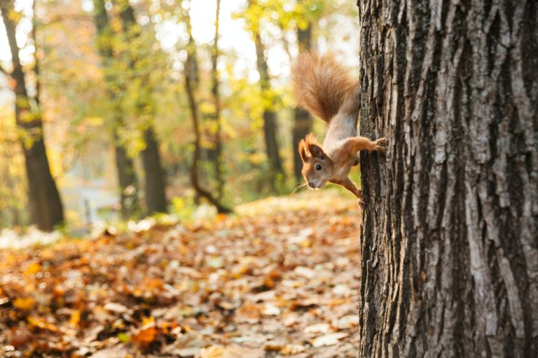 Close up of a squirrel with a bushy tail on a tree at the autumn forest